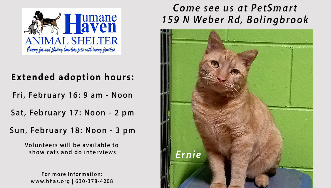 Ernie the adoptable cat showing extended adoption hours
