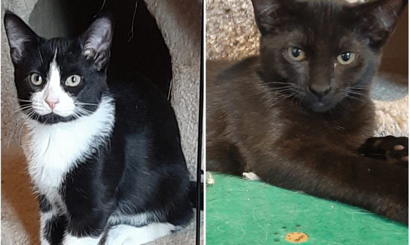 Meet our adoptable bonded kittens: Felix and Ravin!